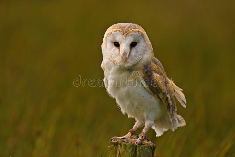 Download Barn Owl stock image. Image of alba, prey, post, barn - 20031825