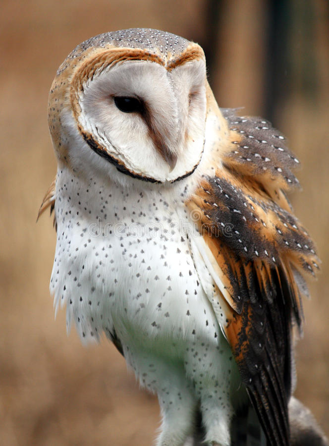 Barn Owl royalty free stock image