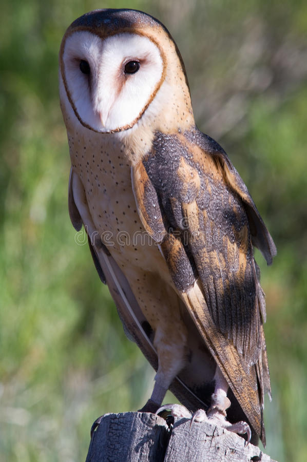 Download Barn Owl stock photo. Image of background, facial, alert - 25123672