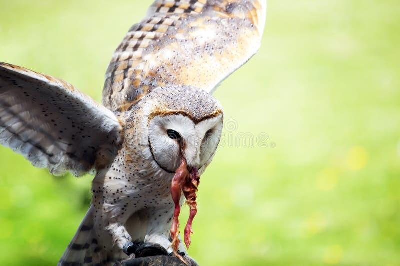 Download Barn Owl stock image. Image of flying, natural, portrait - 26359047