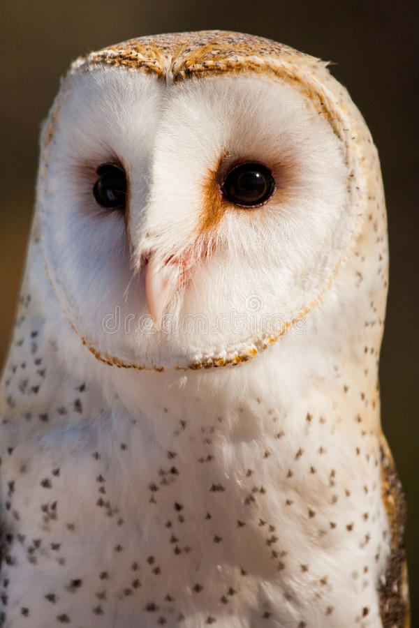 Download Barn Owl stock image. Image of look, portrait, bill, alba - 29188763