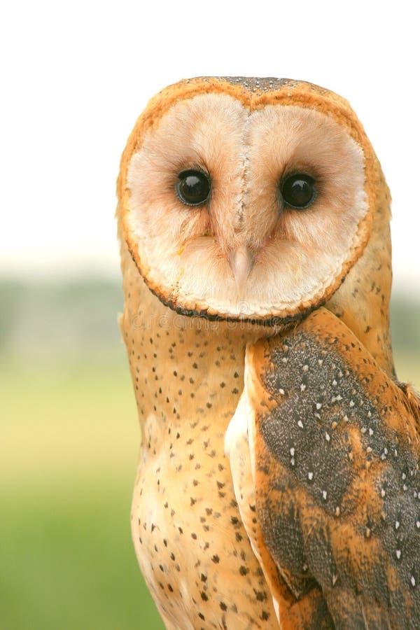 Barn Owl. This barn owl has beautiful plumage and a direct gaze stock photo
