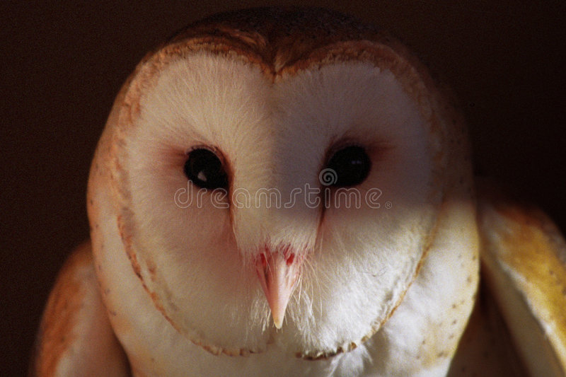 Download Barn Owl Royalty Free Stock Images - Image: 9219559