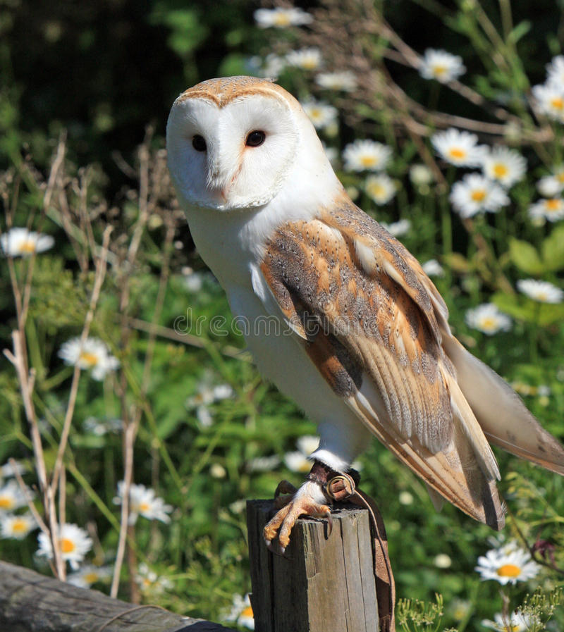 Barn Owl. Portrait of a barn owl perched on a fence with a pretty background of daisies