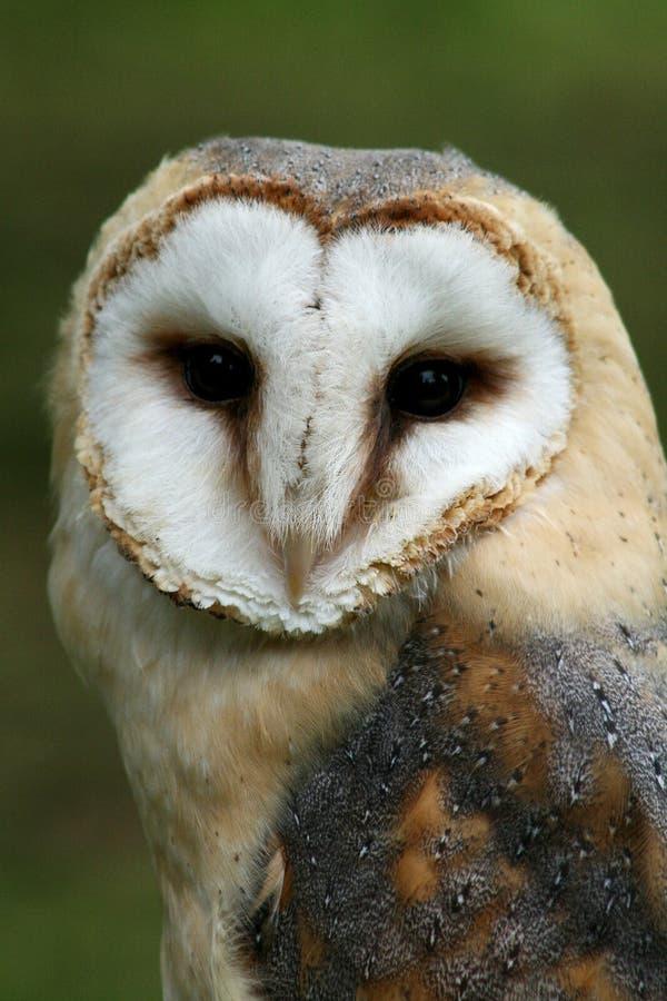 Barn Owl stock image. Image of bird, nocturnal, beak ...