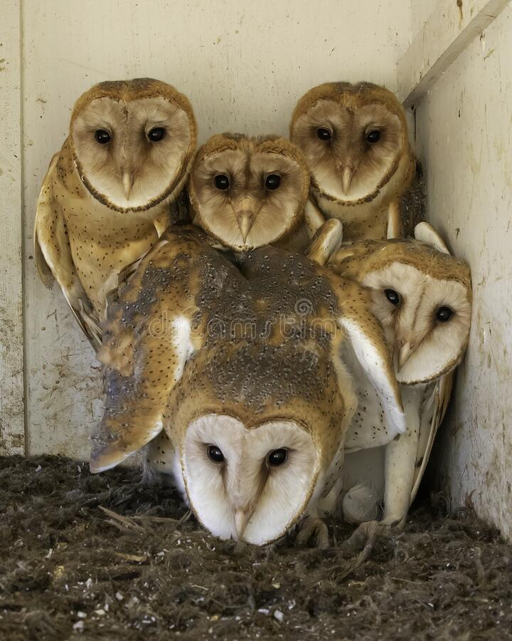 Free Barn Owl Baby Chicks Are Seen In Nest Box Royalty Free Stock Images - 211688759
