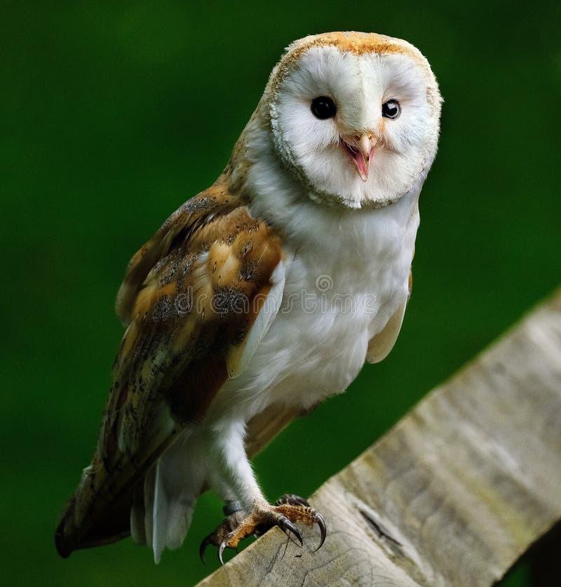 Barn Owl at bird preservation park. stock photos