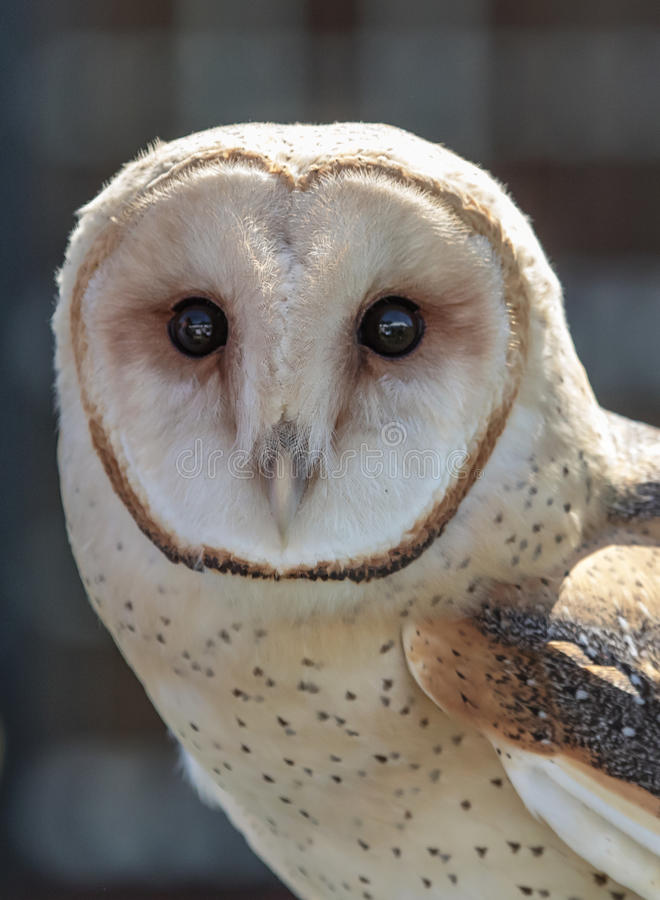 Barn Owl stock photo. Image of sport, feathers, endangered ...