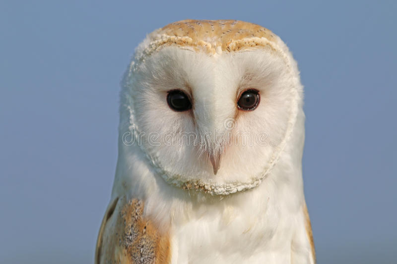Download Barn owl stock image. Image of background, prey, feather - 62641221
