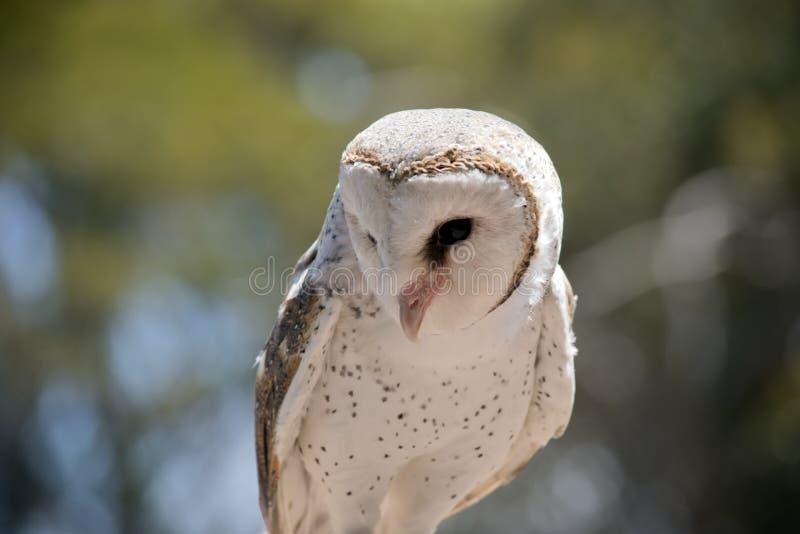 A barn owl stock photo