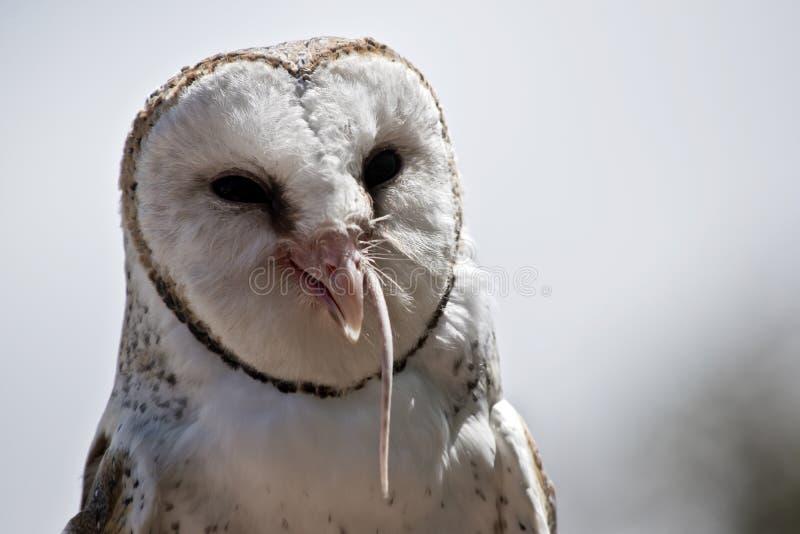 A barn owl stock photography