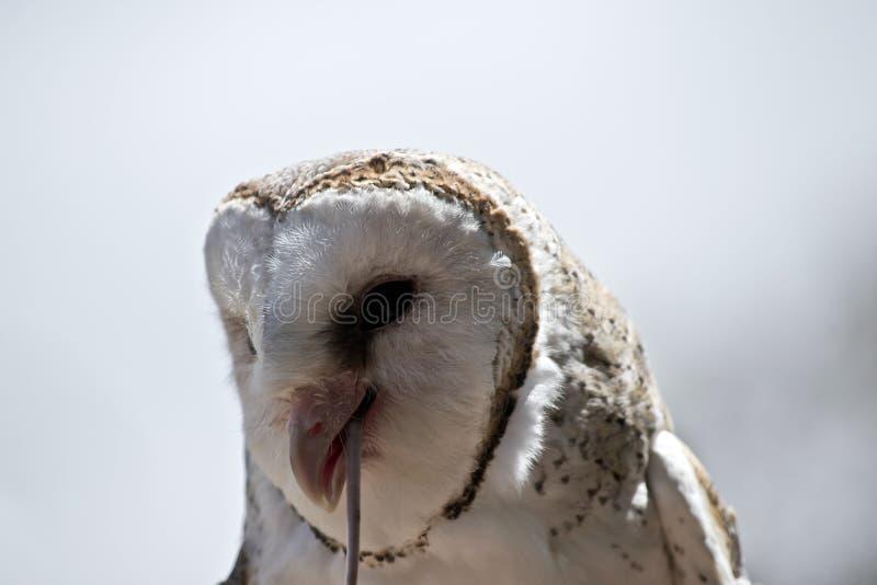 A barn owl royalty free stock image