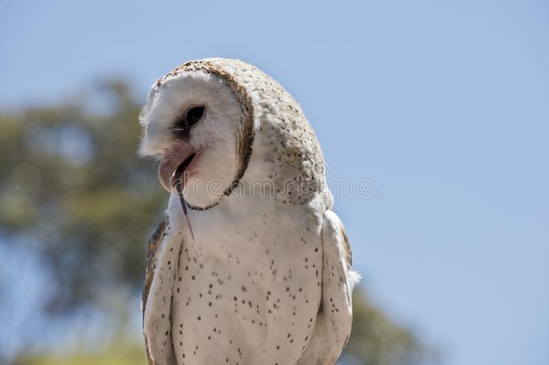 A barn owl royalty free stock image