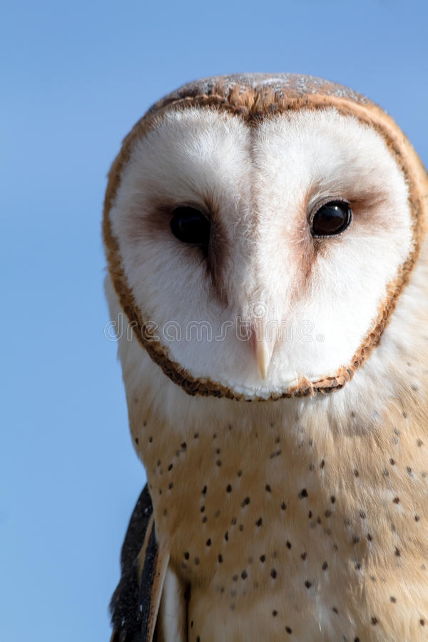 Barn Owl. Close up of the face of a barn owl against blue sky royalty free stock image
