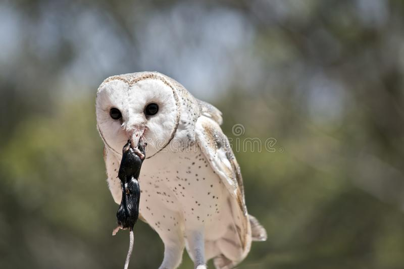 A barn owl royalty free stock photography