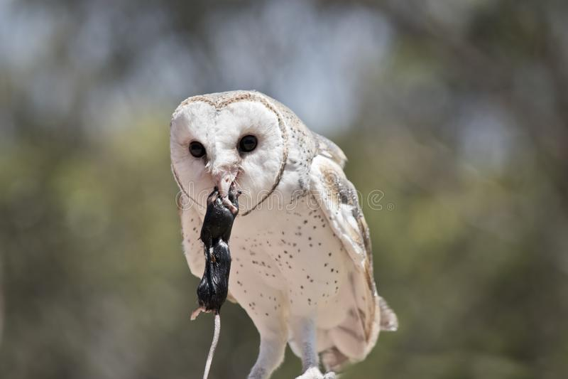 A barn owl royalty free stock photos