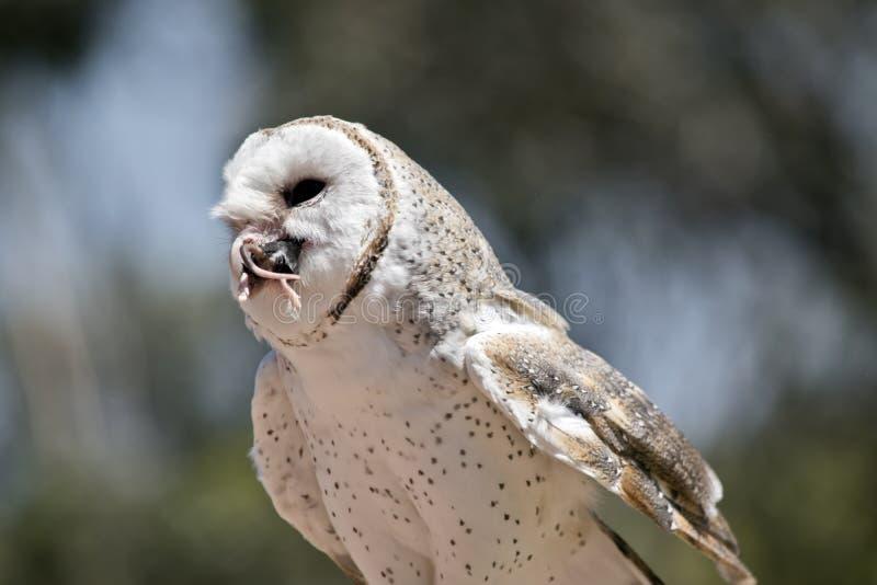 A barn owl stock photos