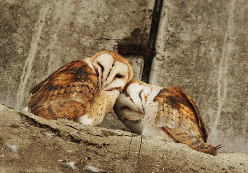 Barn owl couple stock photos