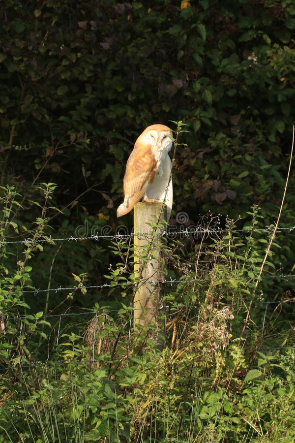 Barn Owl on a fence post stock images