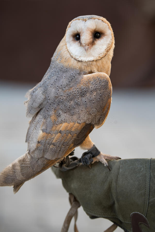 The barn owl. Barn owl on a falconer`s glove royalty free stock image