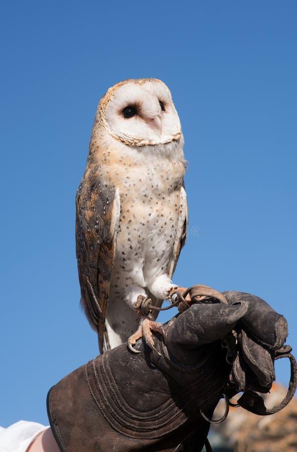 The barn owl. Barn owl on a falconer`s glove royalty free stock photos