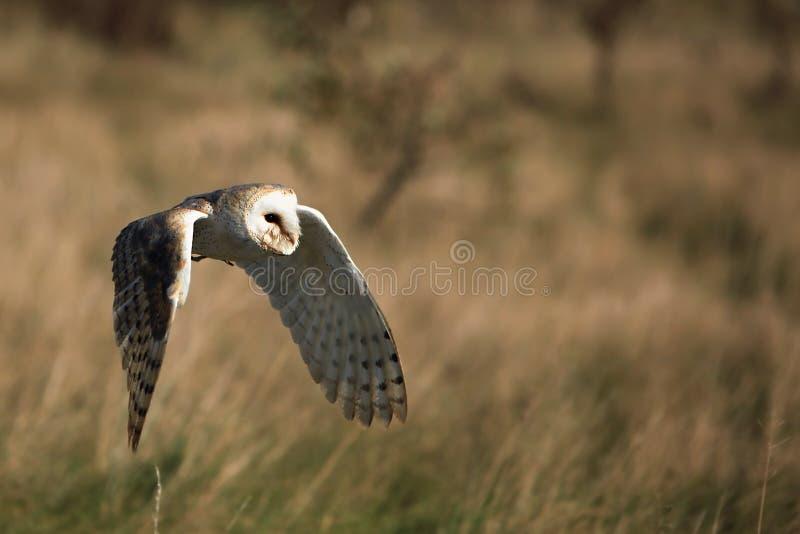Download Barn Owl In Flight stock photo. Image of wings, prey - 16712026