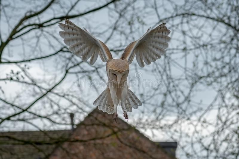 Barn owl hovering. A barn owl in flight hovering above the ground looking down for prey with branches in the background stock images