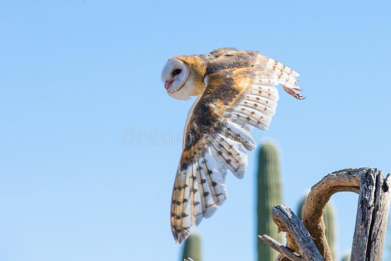 Barn owl in flight after prey stock photo