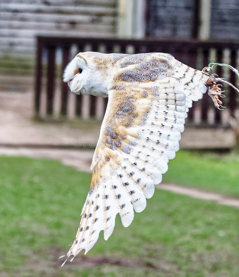 Barn owl in flight. Tyto alba is the most widely distributed species of owl and one of the most widespread of all birds. It is also referred to as the common royalty free stock photos