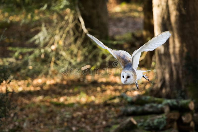 A barn owl flying among the trees. royalty free stock photo