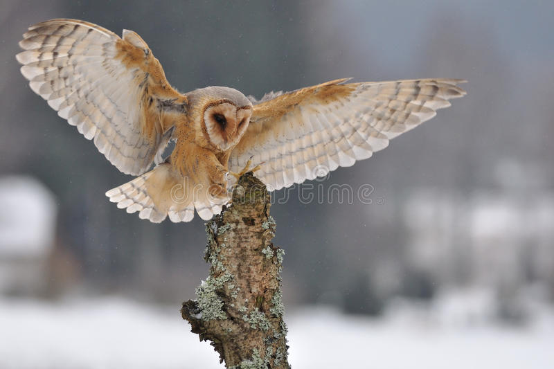Download Barn owl landing to spike stock photo. Image of landing - 18925980