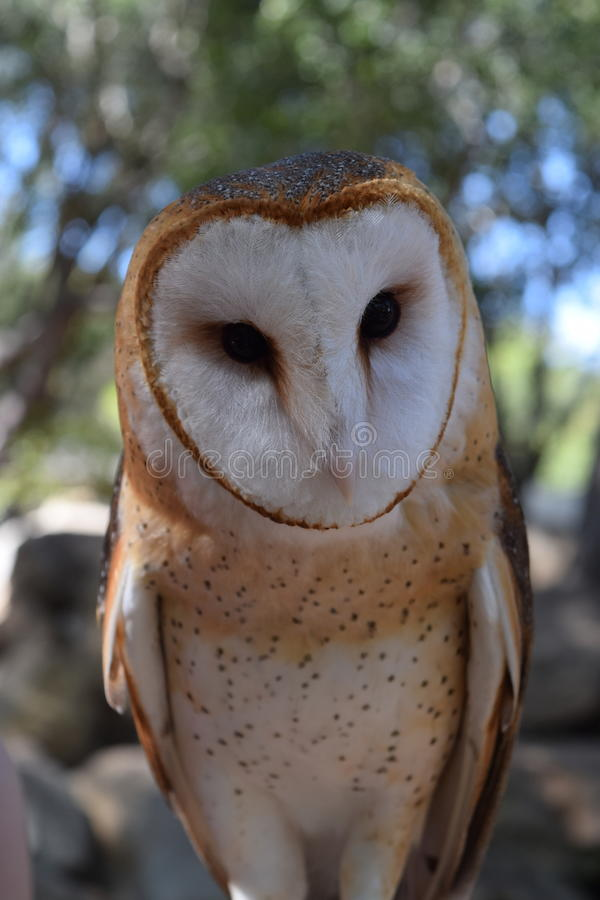 Barn Owl looking directly at the camera royalty free stock photography