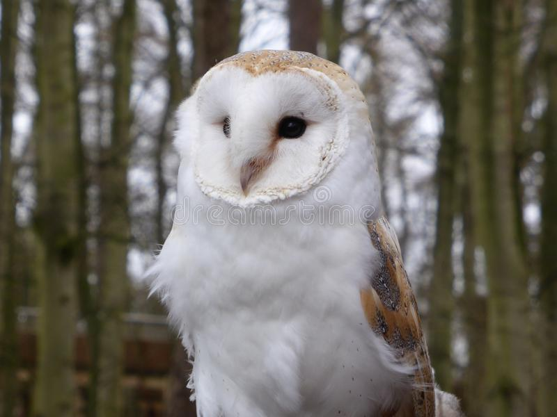 Barn owl looking out at the world royalty free stock photos