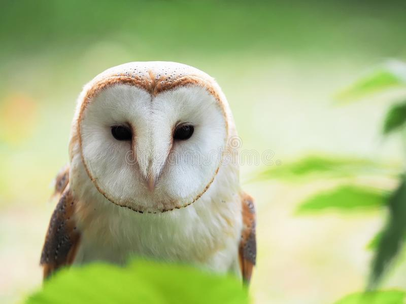 Barn Owl looking straight forward stock photography