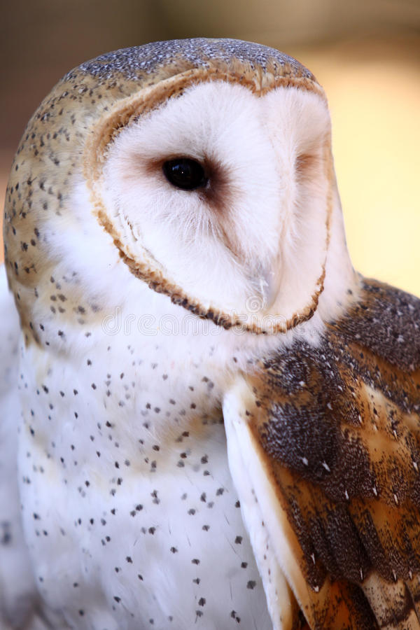 Download Barn Owl - Majestic stock image. Image of beak, tyto - 12647855