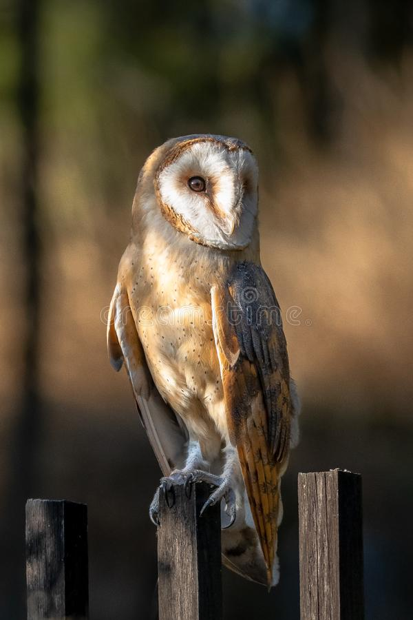 The barn owl is the most widely distributed species of owl and one of the most widespread of all birds. It is also referred to as the common barn owl, to stock image