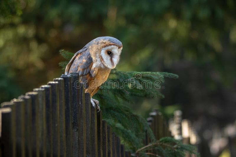 The barn owl is the most widely distributed species of owl and one of the most widespread of all birds. It is also referred to as the common barn owl, to stock photo