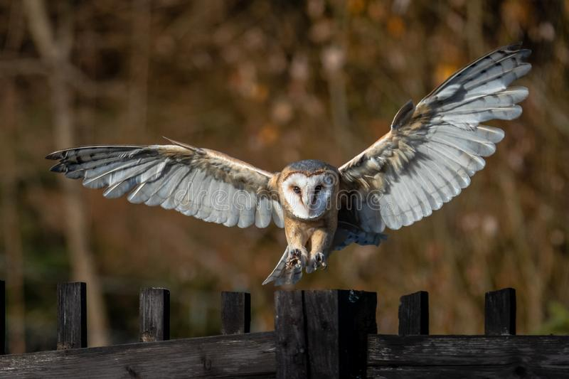 The barn owl is the most widely distributed species of owl and one of the most widespread of all birds. It is also referred to as the common barn owl, to royalty free stock photos