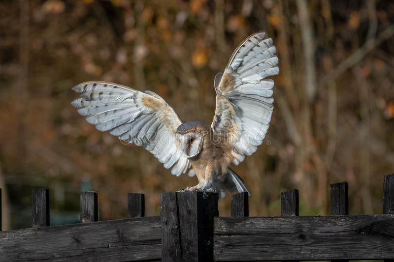 The barn owl is the most widely distributed species of owl and one of the most widespread of all birds. It is also referred to as the common barn owl, to stock images