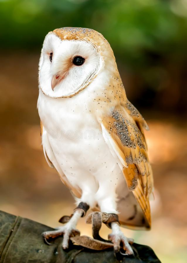 Barn Owl is the most widely species of owl. stock image