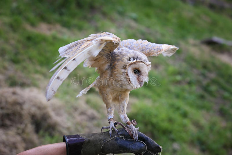 Barn owl with open wings stock image. Image of prey ...