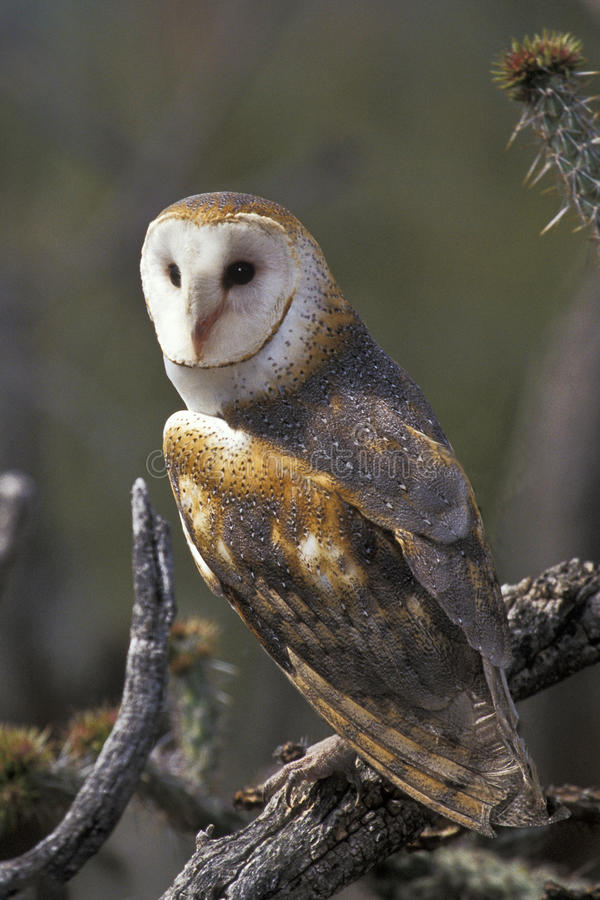 Free Barn Owl Perched Royalty Free Stock Photos - 16687968