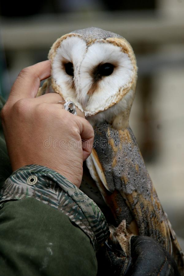 The barn owl gets caressed by the man stock photography