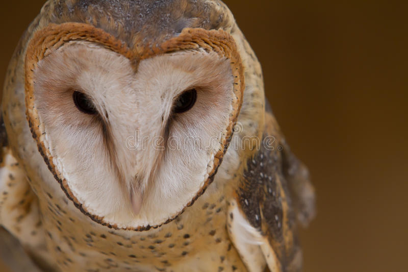 Download Barn Owl Portrait Stock Photography - Image: 26642992