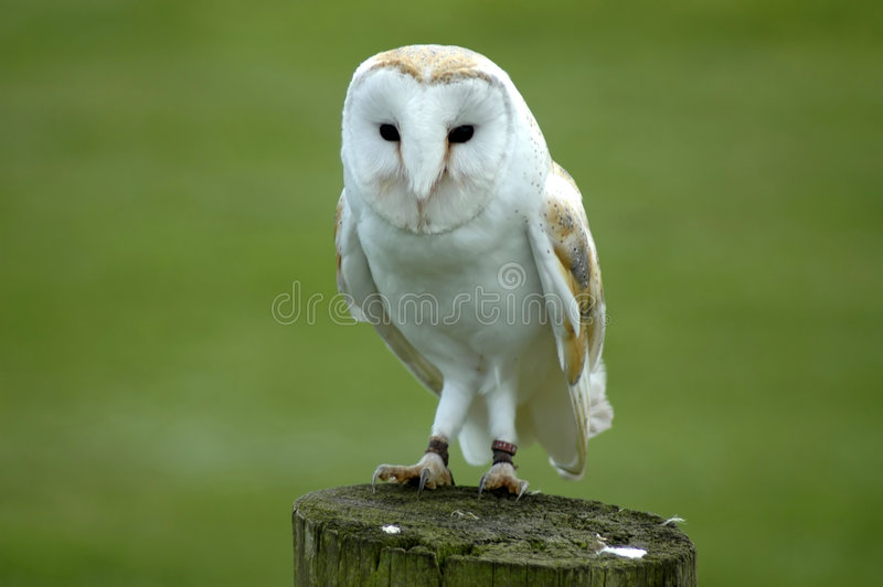 Barn Owl on Post royalty free stock photography
