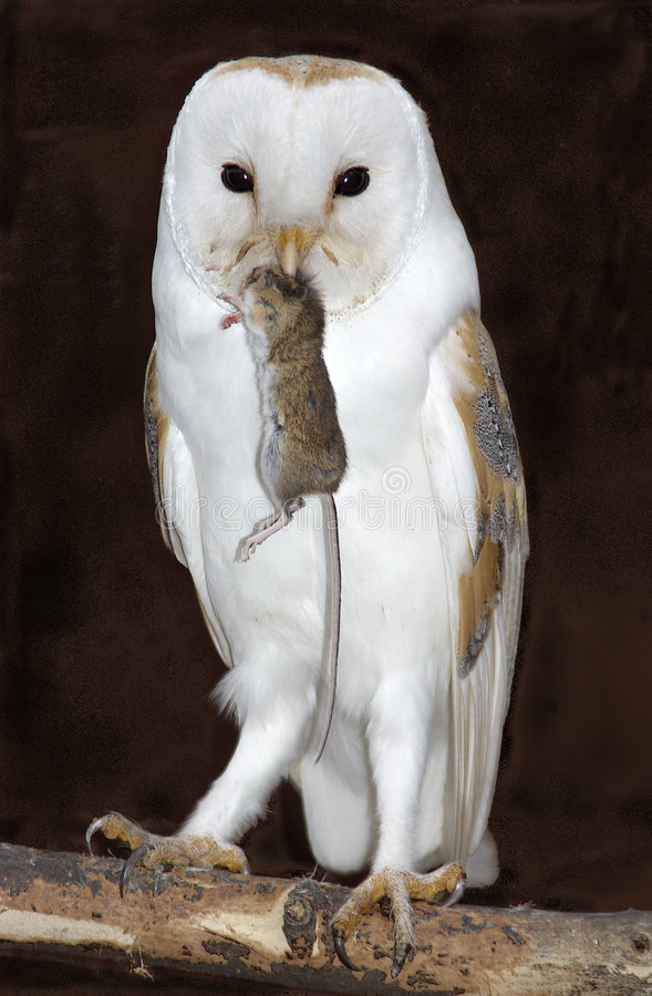 Barn owl with prey stock photo