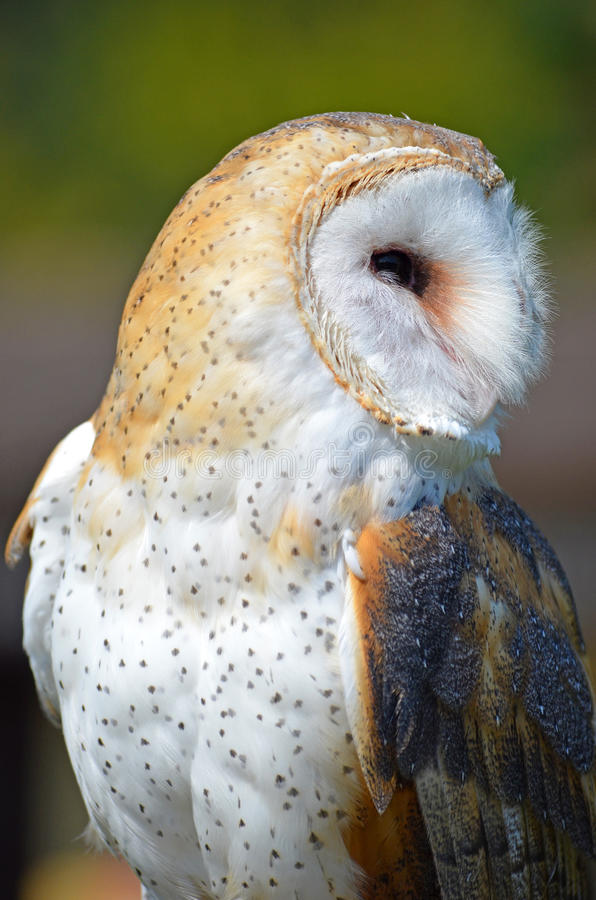 Download Barn Owl profile stock image. Image of wings, fowl, feathered - 26652565