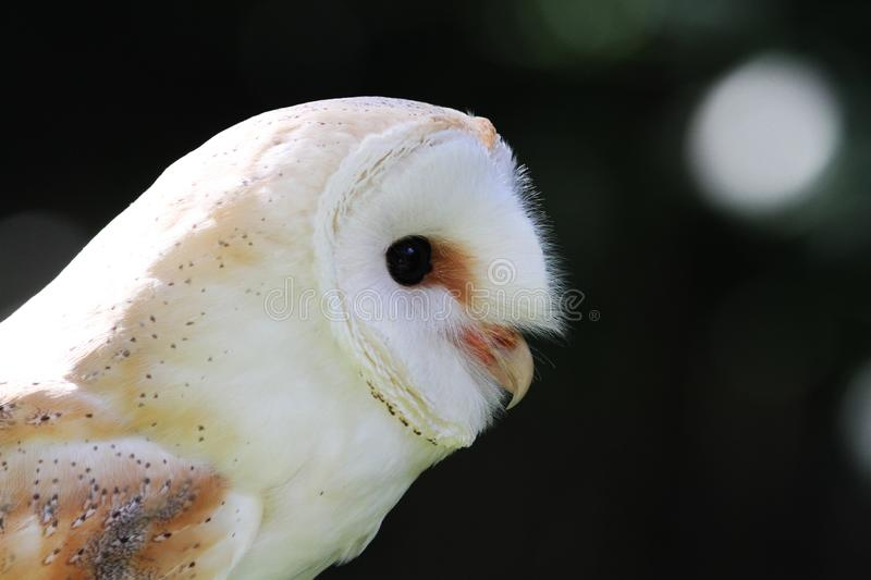 Barn Owl profile royalty free stock photography