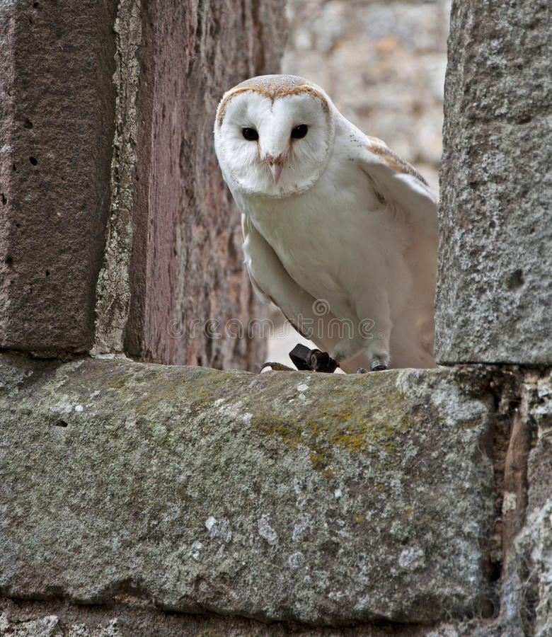 Barn Owl in a ruined church stock photos