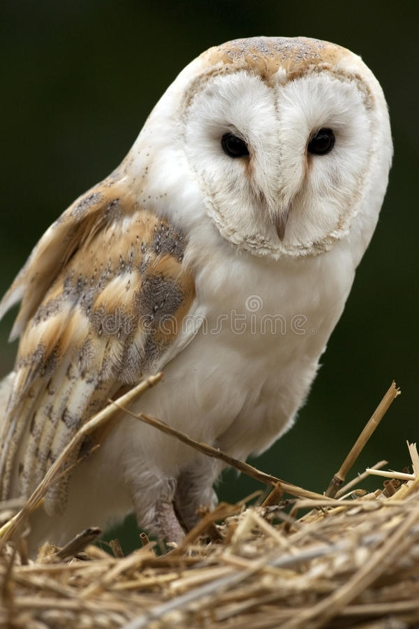 Barn Owl - Scotland. A Barn Owl (Tyto alba) in a farm building in the Scottish Highlands in Scotland. The Barn Owl is the most widely distributed species of owl royalty free stock photo